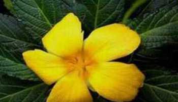 Flor de Marilope